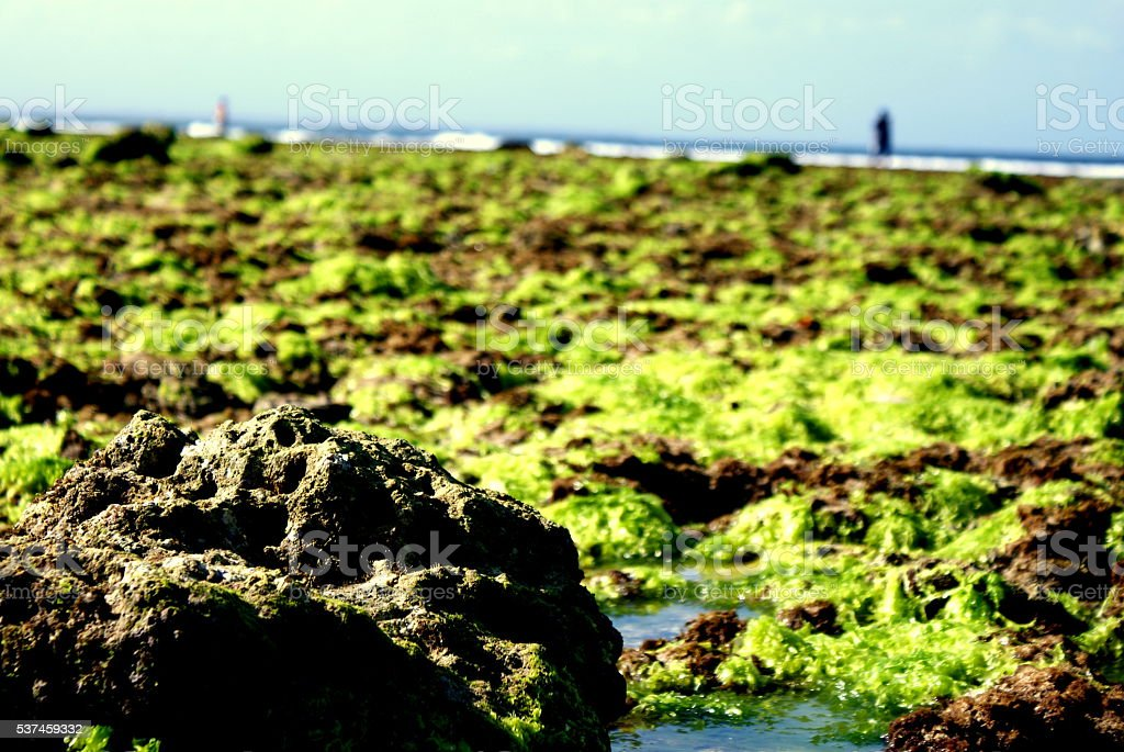 Waterweeds at the low water in Indonesia stock photo