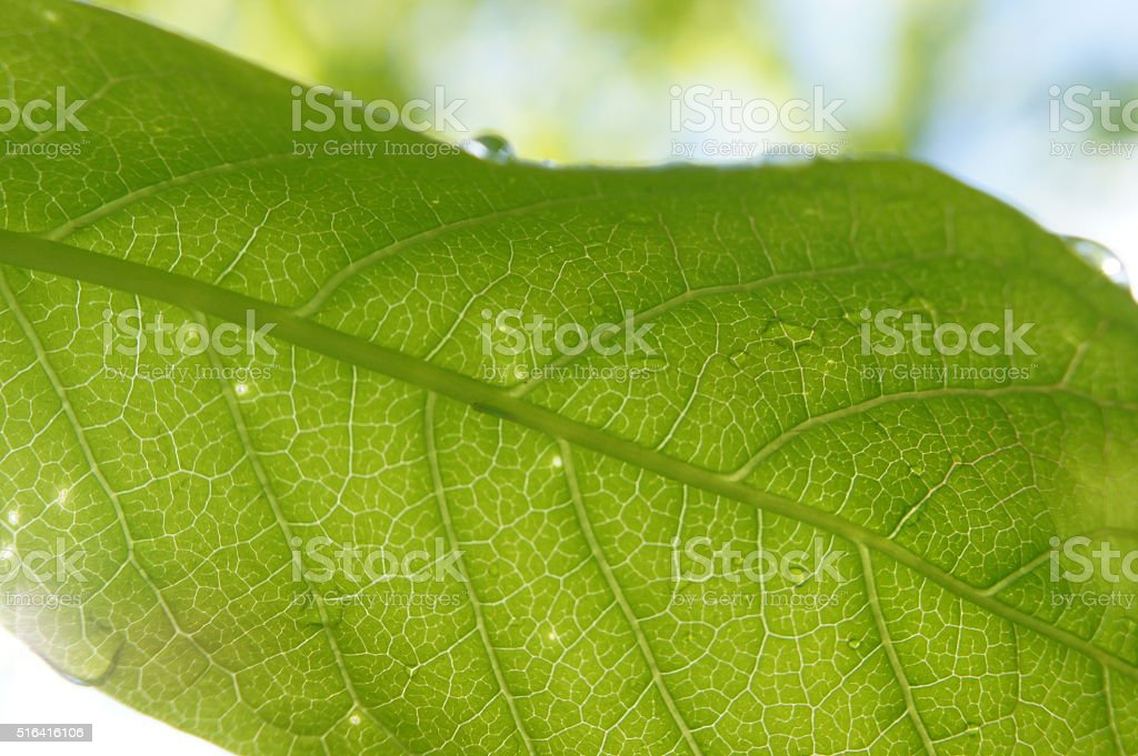 Watery leaf stock photo