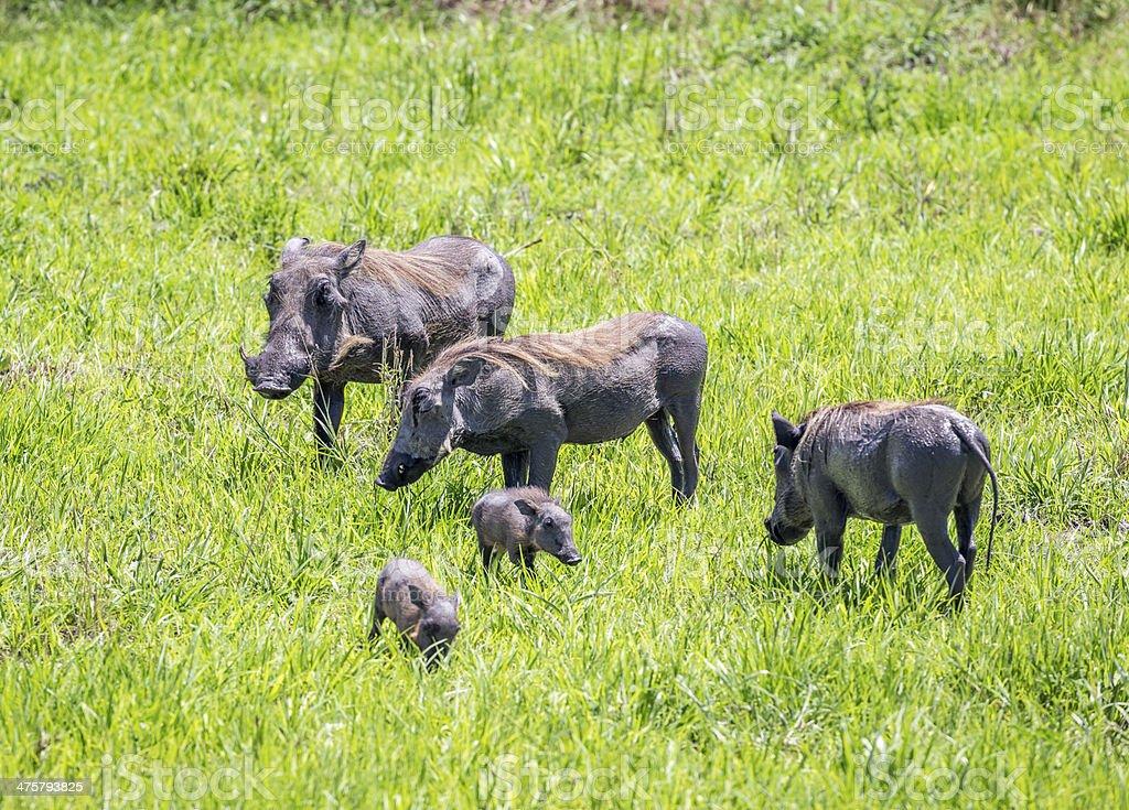 Wathogs family stock photo