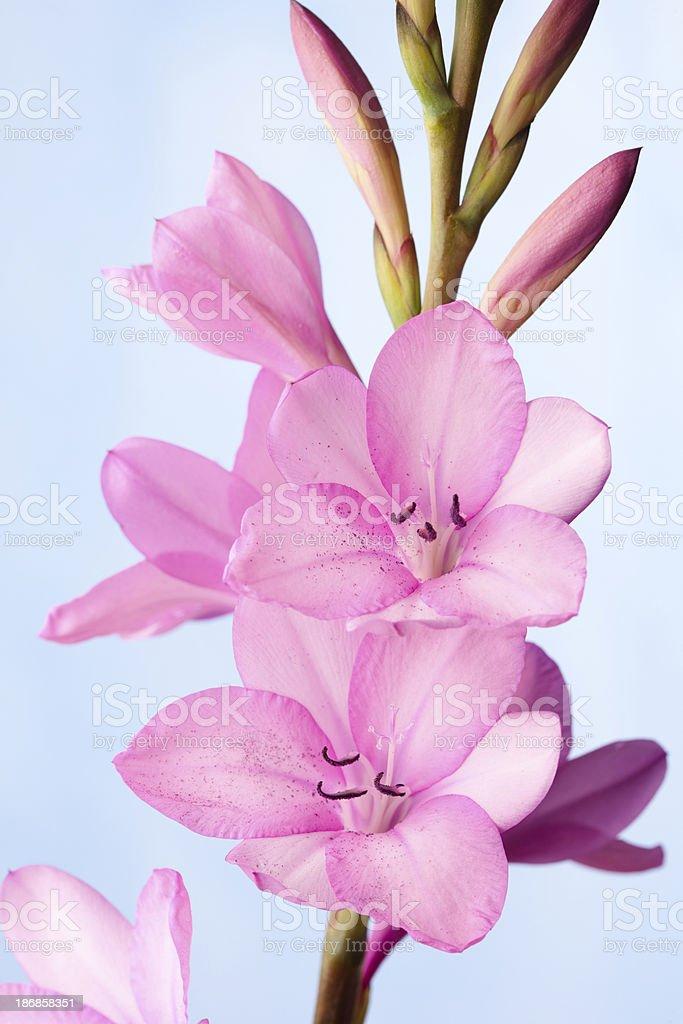Watsonia flowers stock photo