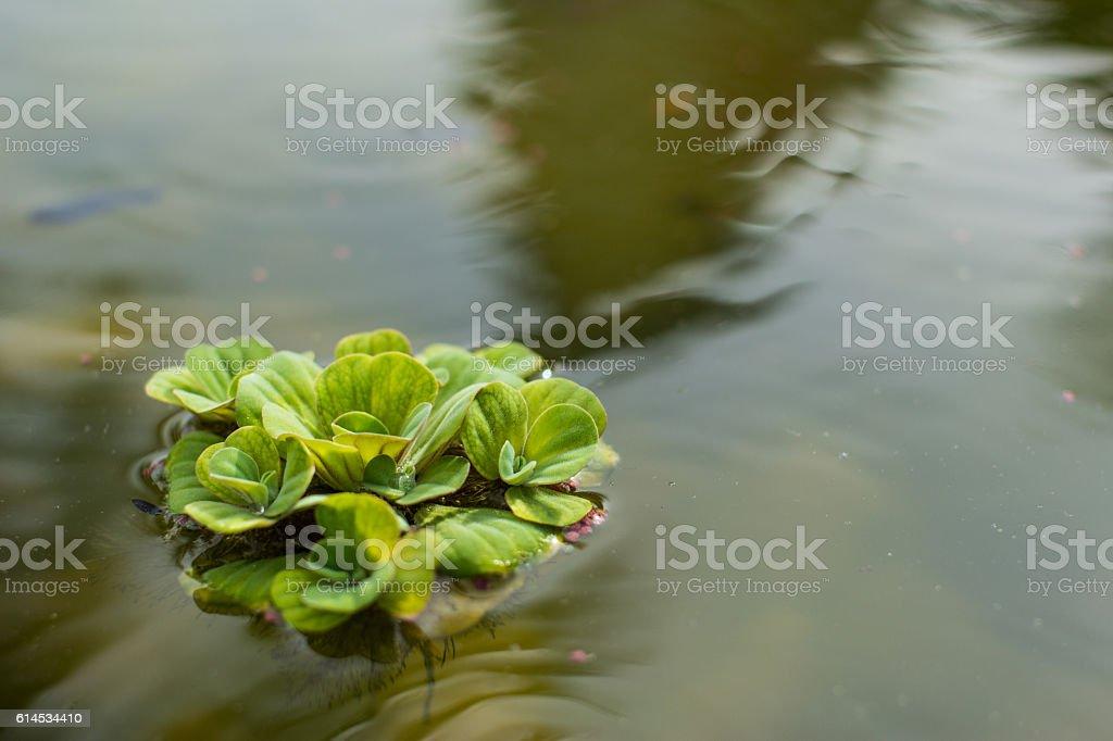 watter lettuce in water stock photo