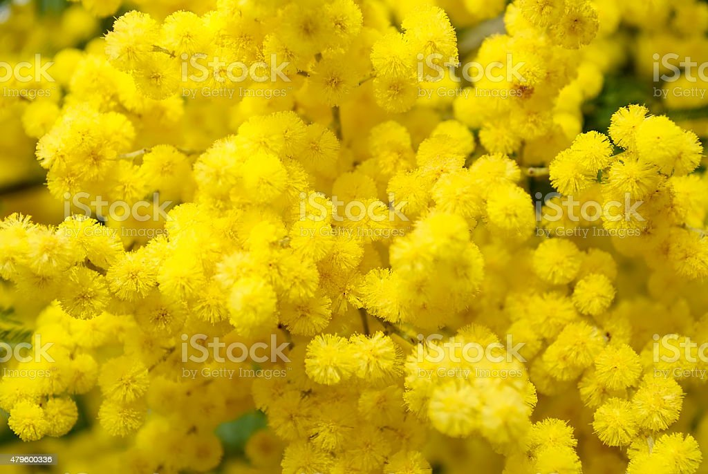 Wattle Bloom Background stock photo