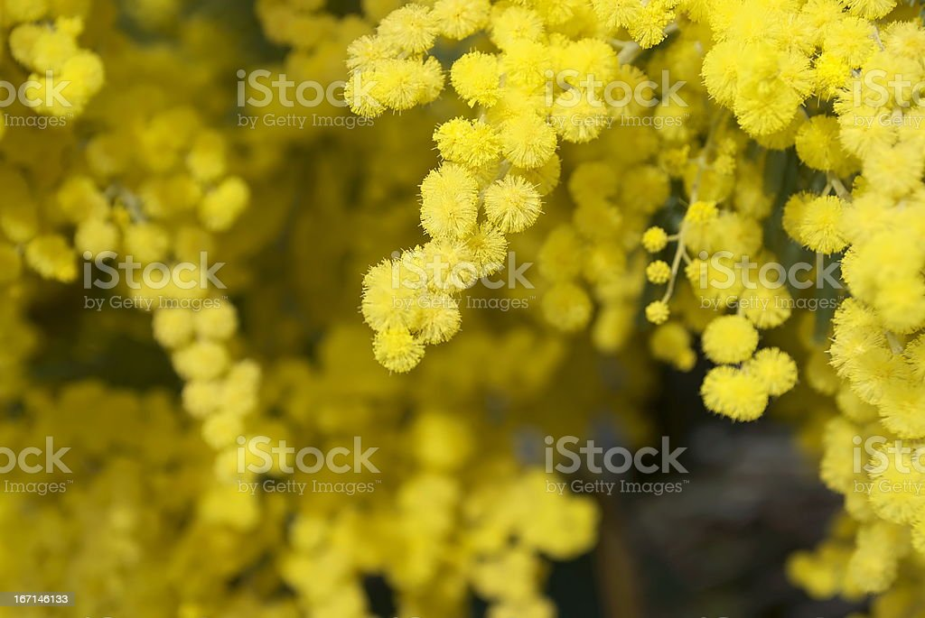 Wattle Bloom in Differential Focus stock photo