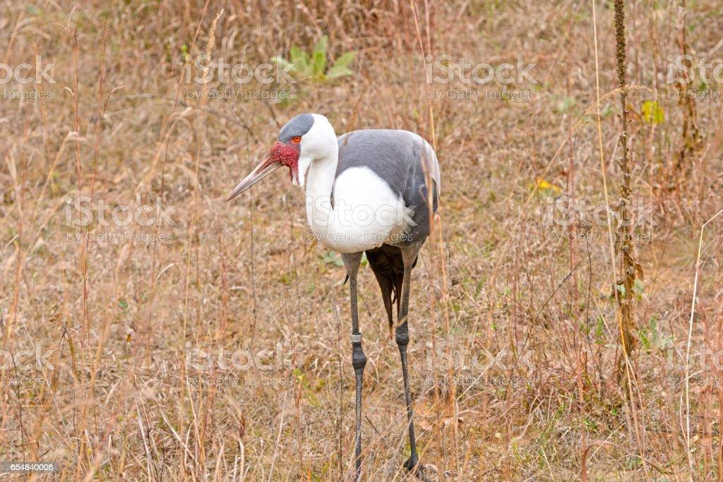 Wattled Crane in a Field stock photo