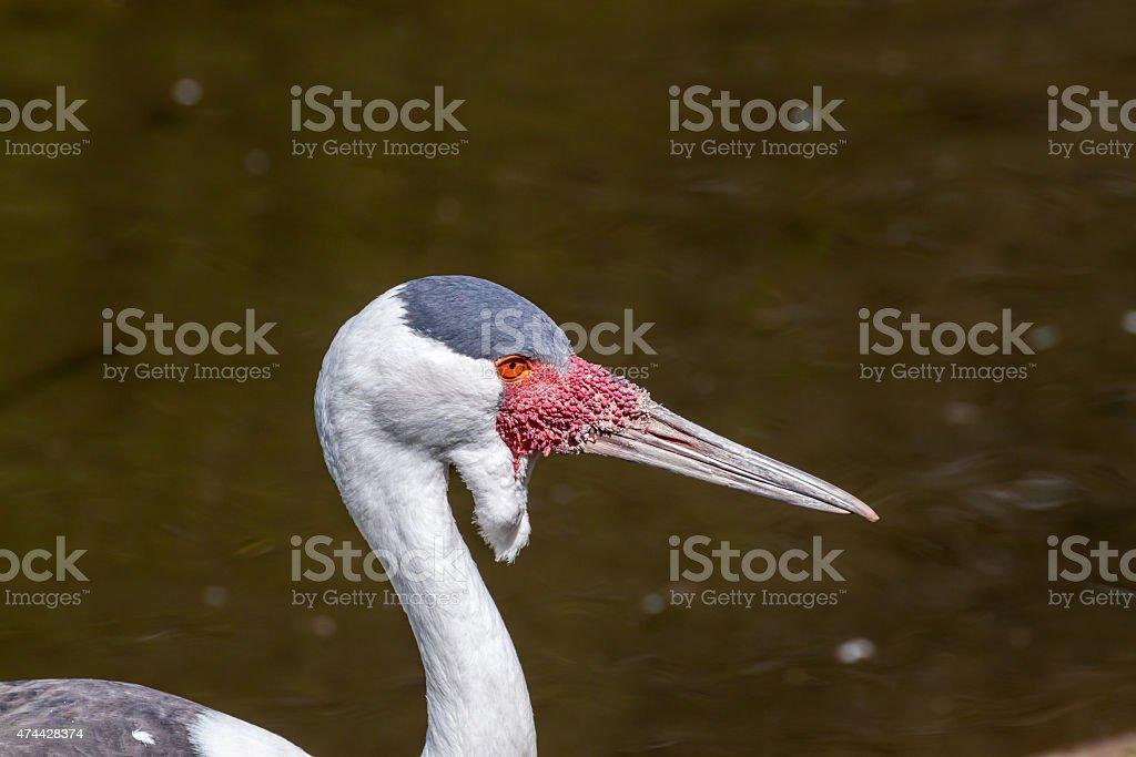 Wattled crane stock photo