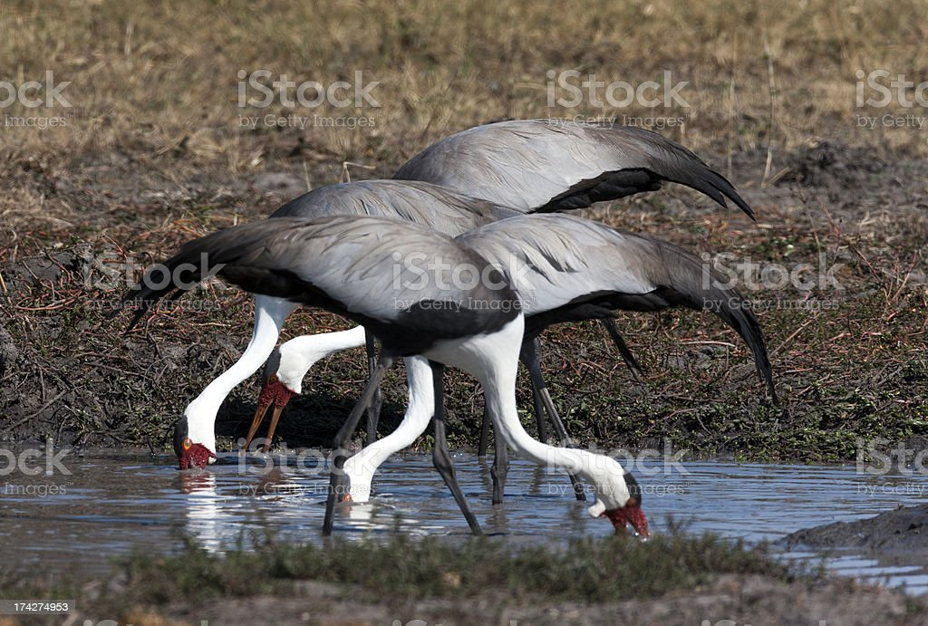 Wattled Cranes Feeding royalty-free stock photo
