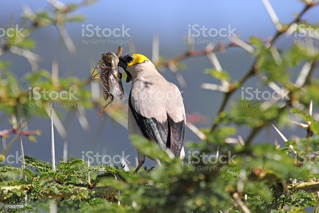 Wattled starling on a wattle stock photo