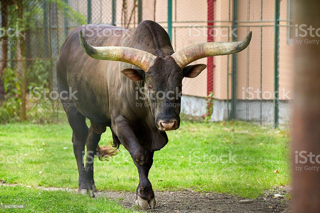 Watusi bull on a meadow stock photo