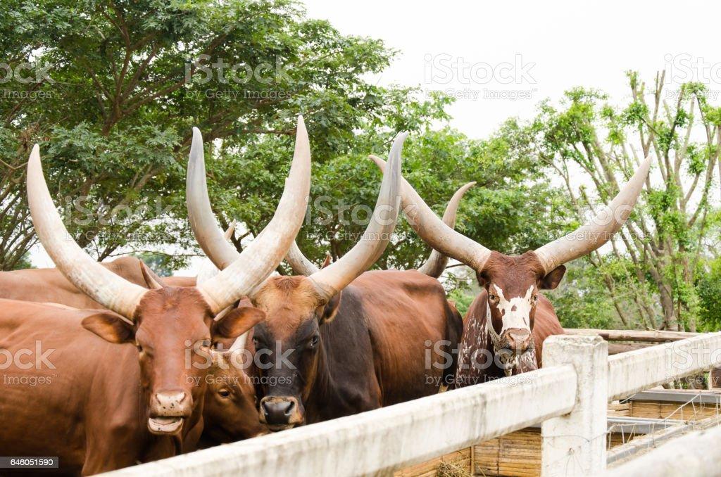 Watusi bull stock photo