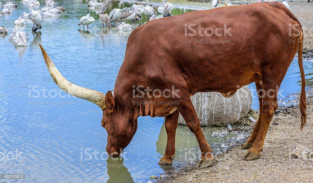 Watusi cattle on white background. stock photo