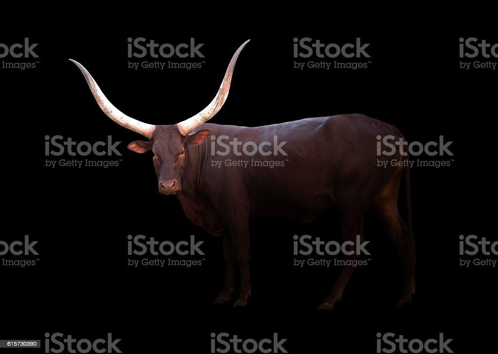 watusi in the dark stock photo