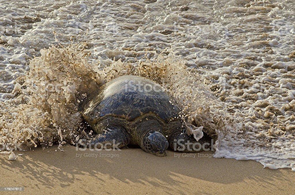 Wave Splashing Sea Turtle royalty-free stock photo
