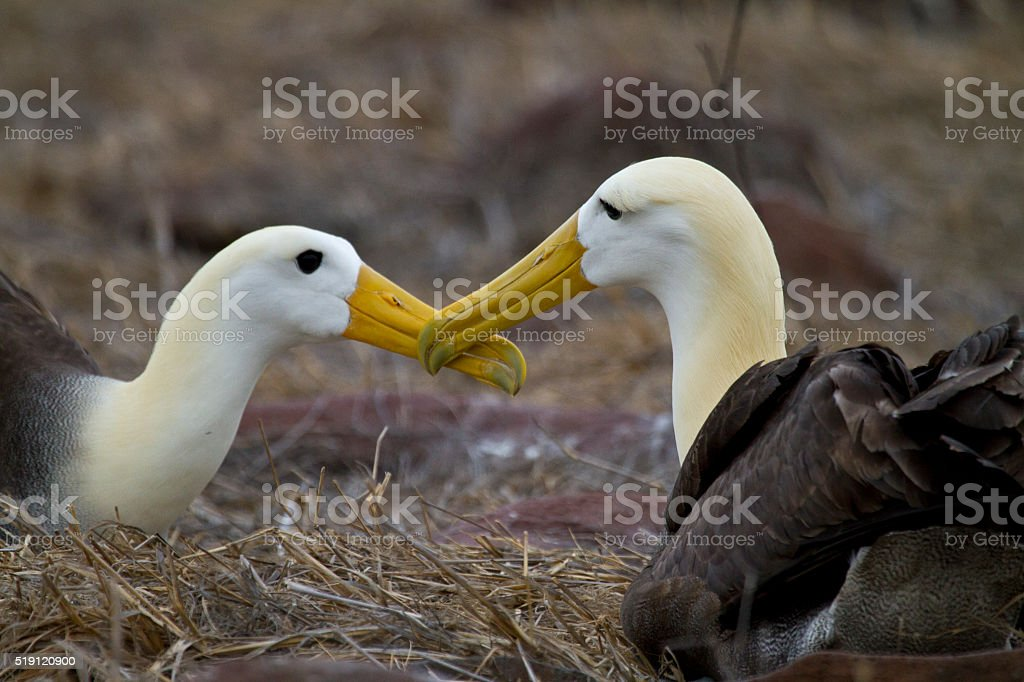Waved Albatross courting stock photo