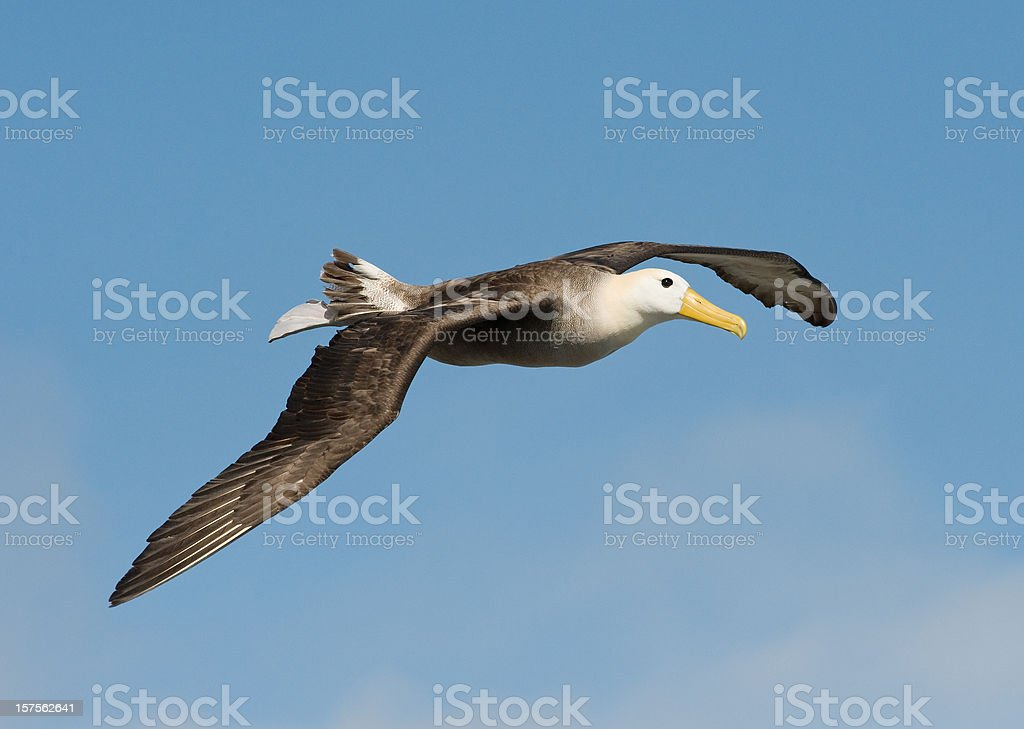 Waved Albatross in the Galapagos stock photo