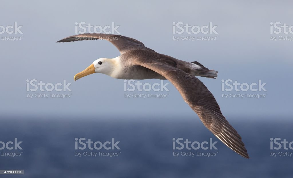 Waved Albatross stock photo