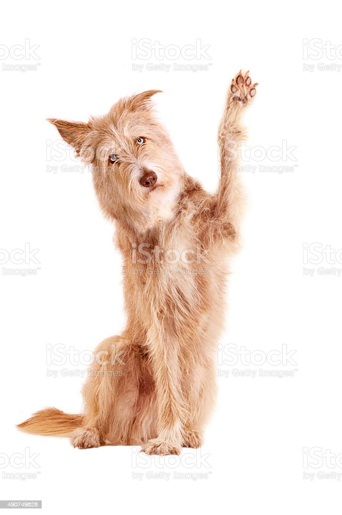 waving dog isolated stock photo