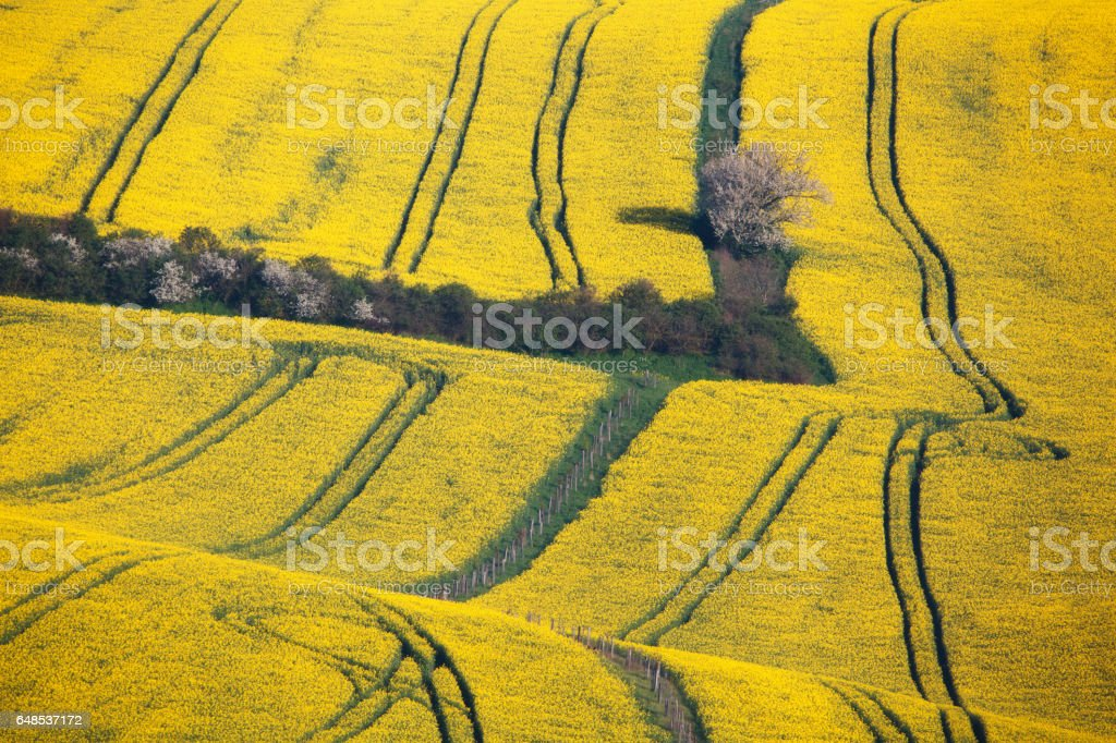 Wavy yellow fields in South Moravian, Czech republic. Striped rolling sunny hills at sunset in spring. Minimalistic landscape with blossom trees and rapeseed field. Agriculture. Nature background stock photo