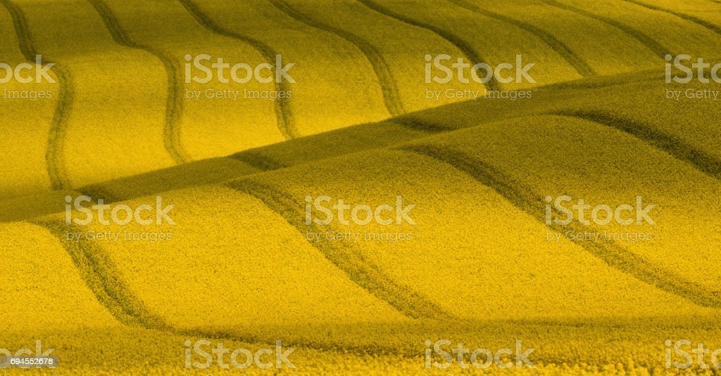 Wavy yellow rapeseed field with stripes and wavy abstract landscape pattern. Corduroy summer rural landscape in yellow tones. Yellow moravian undulating fields of crops.  Yellow Background texture. stock photo