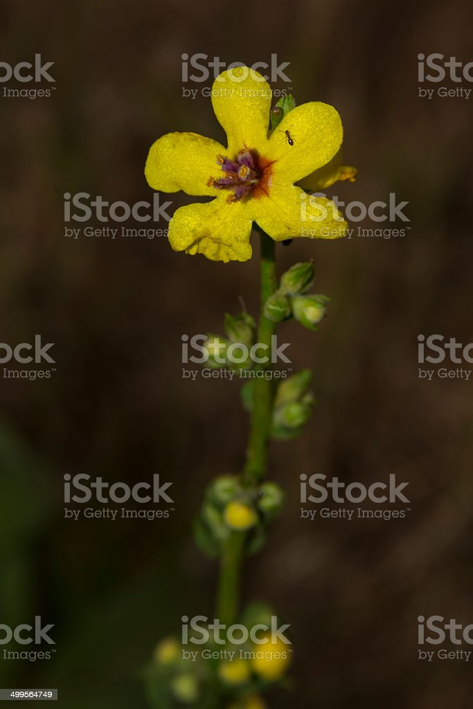 Wavyleaf Mullein royalty-free stock photo