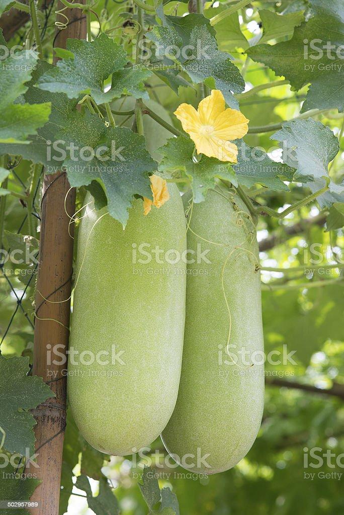 Wax gourd in a  garden stock photo