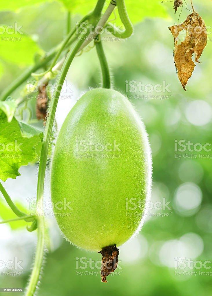 Wax gourd stock photo