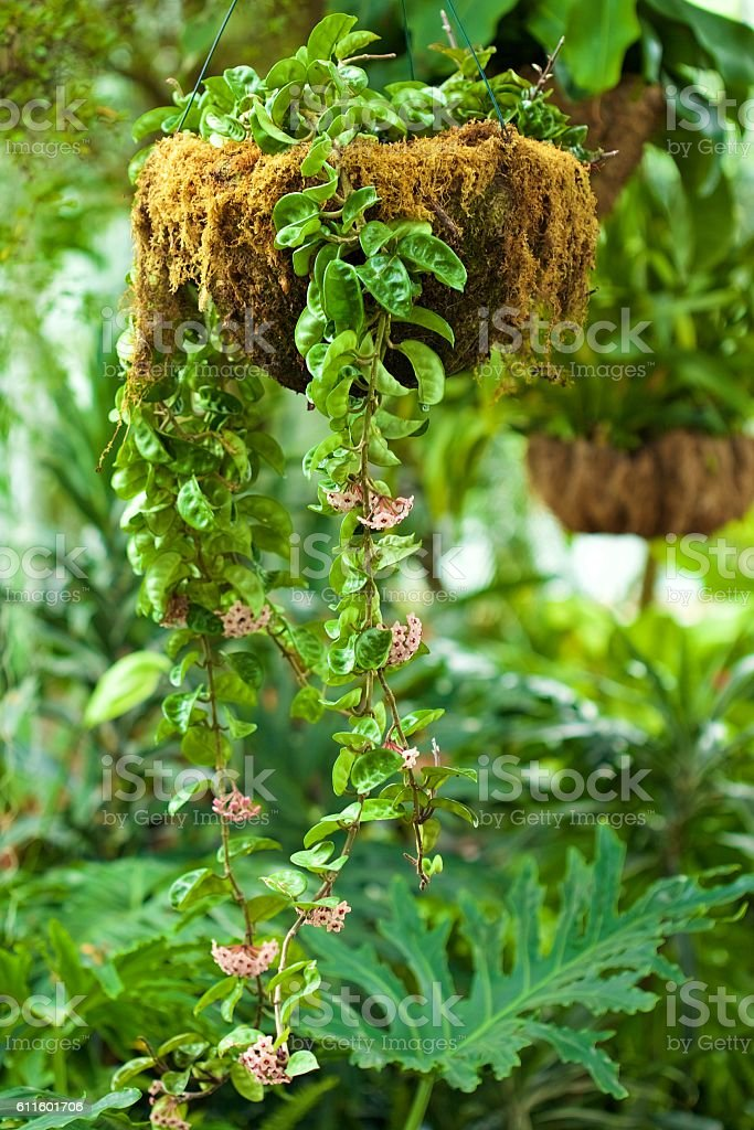 Wax Plant stock photo