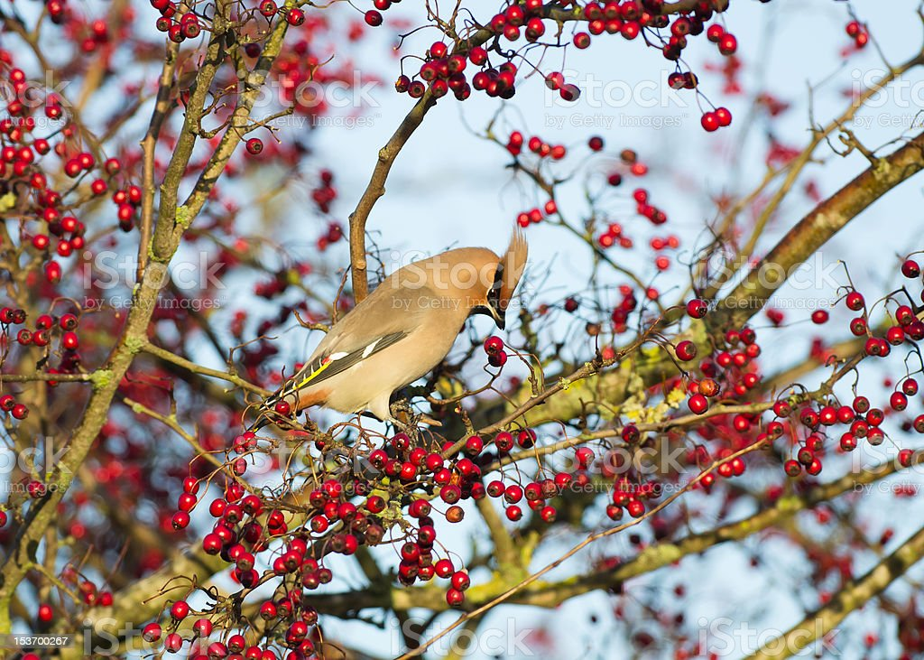 Waxwing in Hawthorn royalty-free stock photo