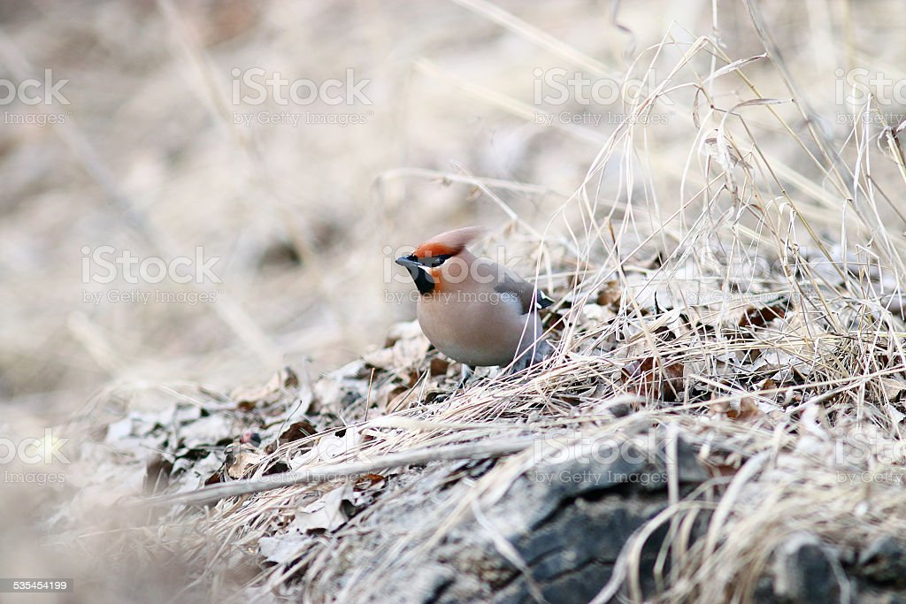 Waxwing on branches without leaves stock photo