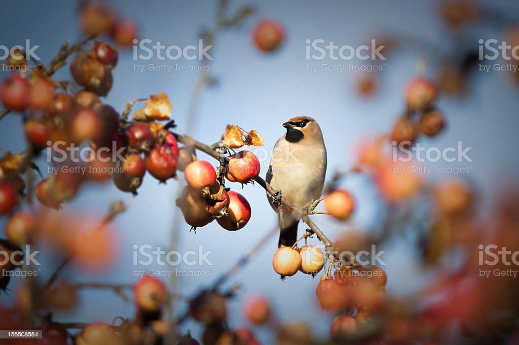 Waxwing royalty-free stock photo
