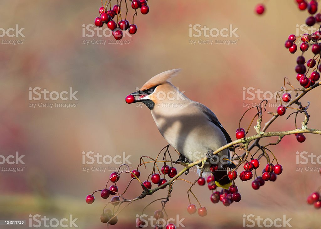 Waxwing with Berry royalty-free stock photo