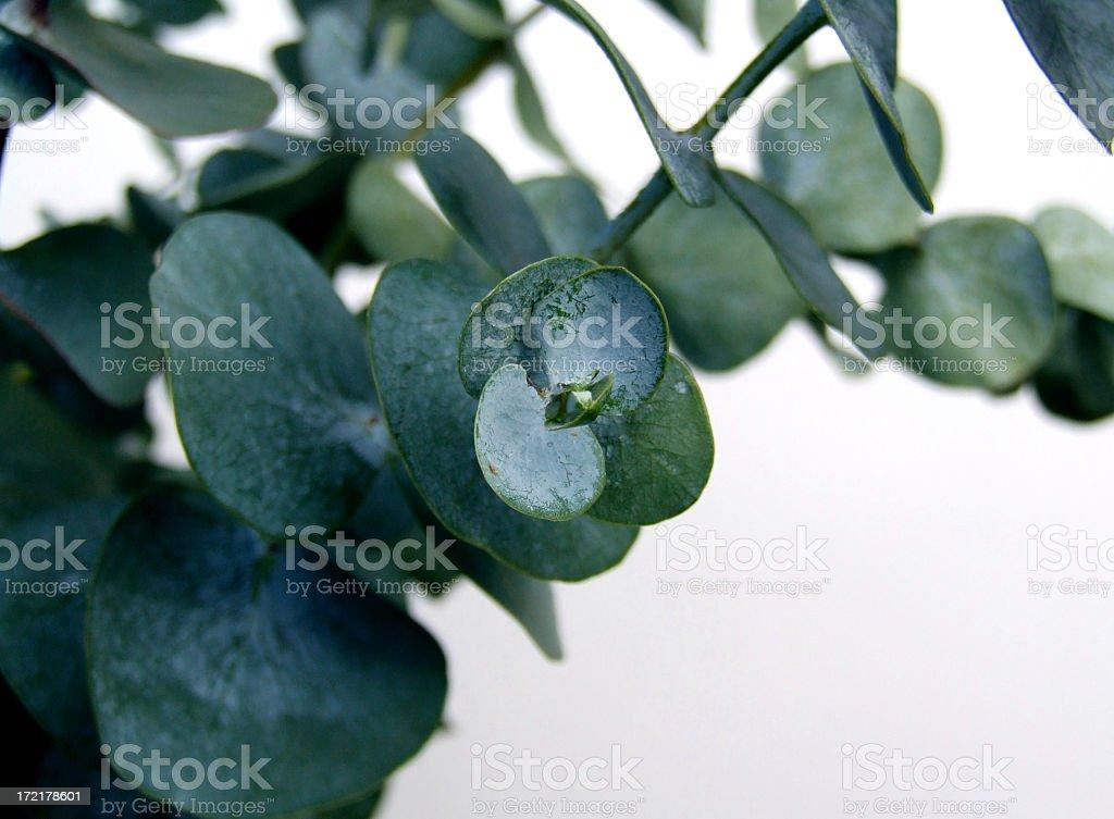 Waxy dark green eucalyptus leaves on a branch stock photo