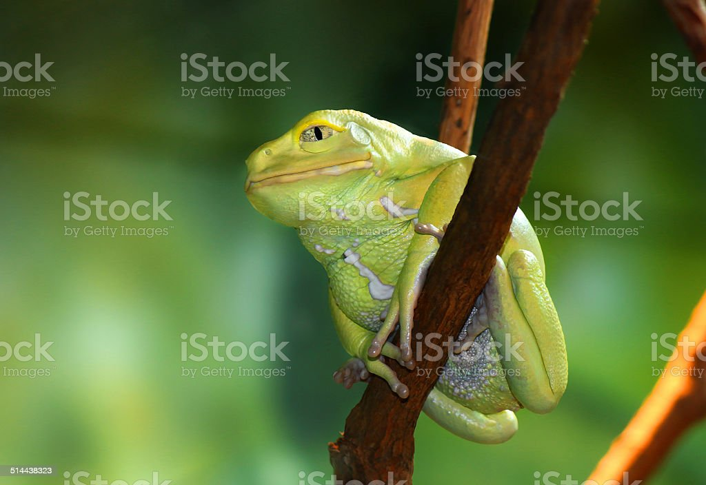 Waxy Monkey Frog Phyllomedusa sauvagii sitting on branch stock photo