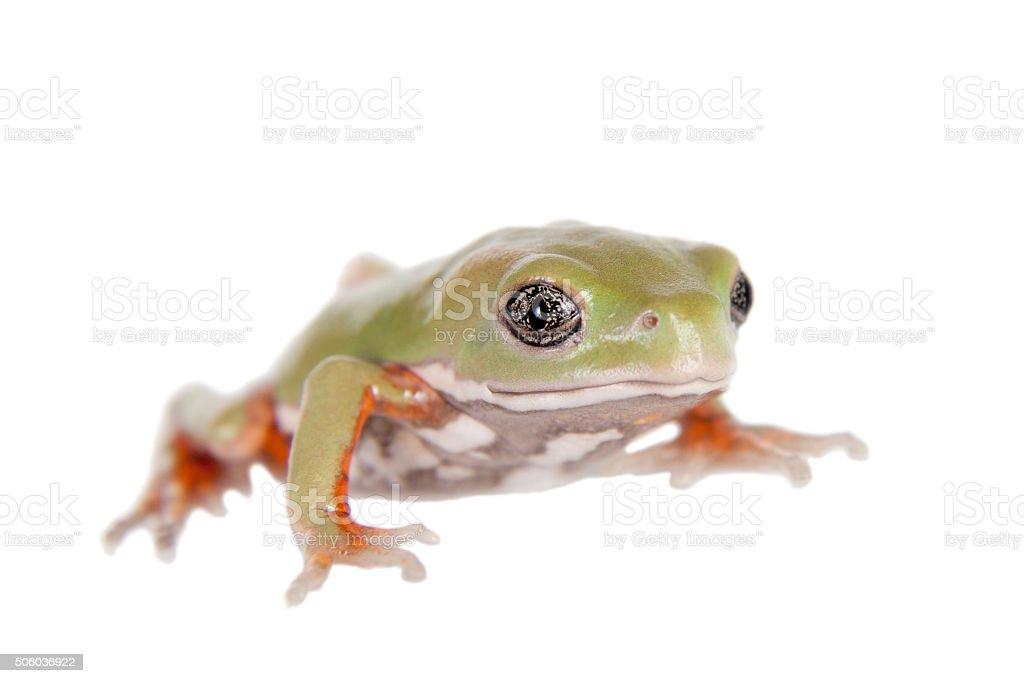 Waxy Monkey Leaf Frog on white background stock photo