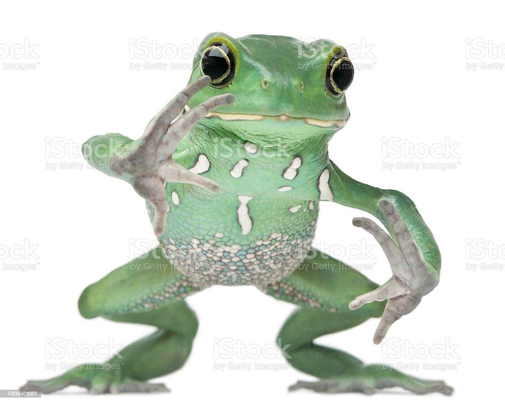 Waxy Monkey Leaf Frog, Phyllomedusa sauvagii stock photo