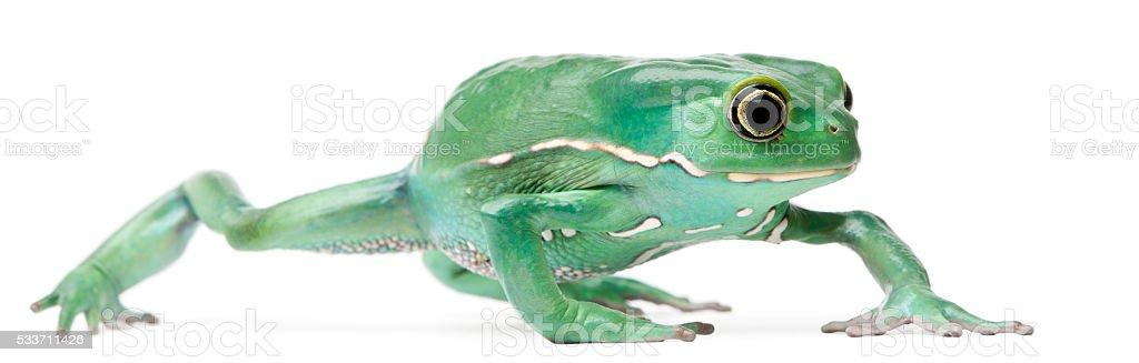 Waxy Monkey Leaf Frog, Phyllomedusa sauvagii, stock photo