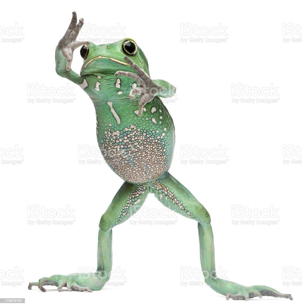 Waxy Monkey Leaf Frog, Phyllomedusa sauvagii, standing, white background. stock photo