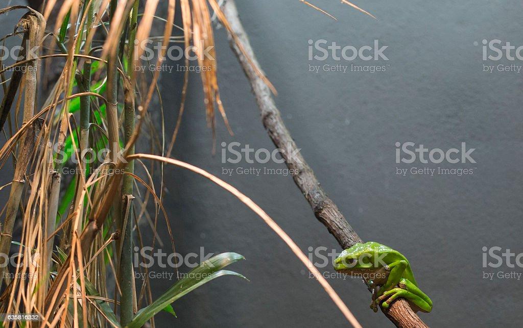 Waxy Monkey Tree Frog stock photo