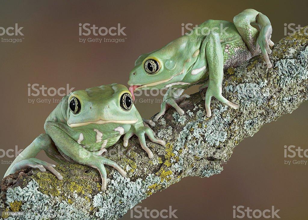 Waxy tree frog love stock photo