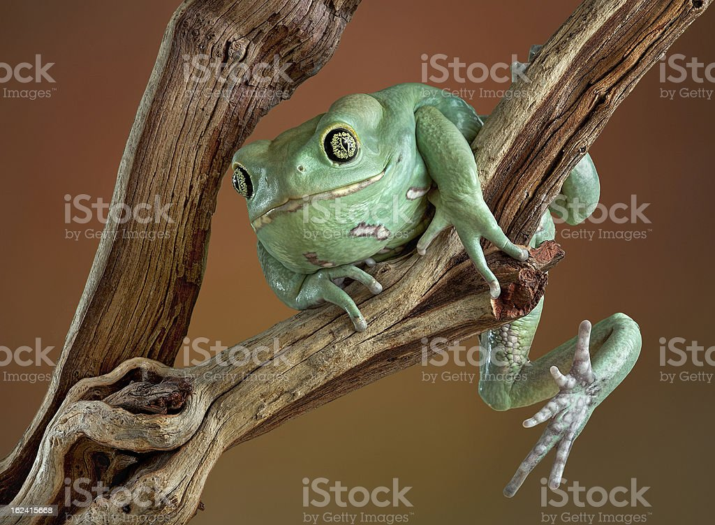 Waxy tree frog on branch stock photo