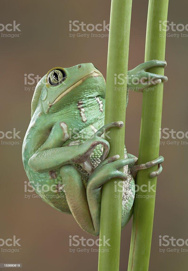 Waxy tree frog on stems stock photo
