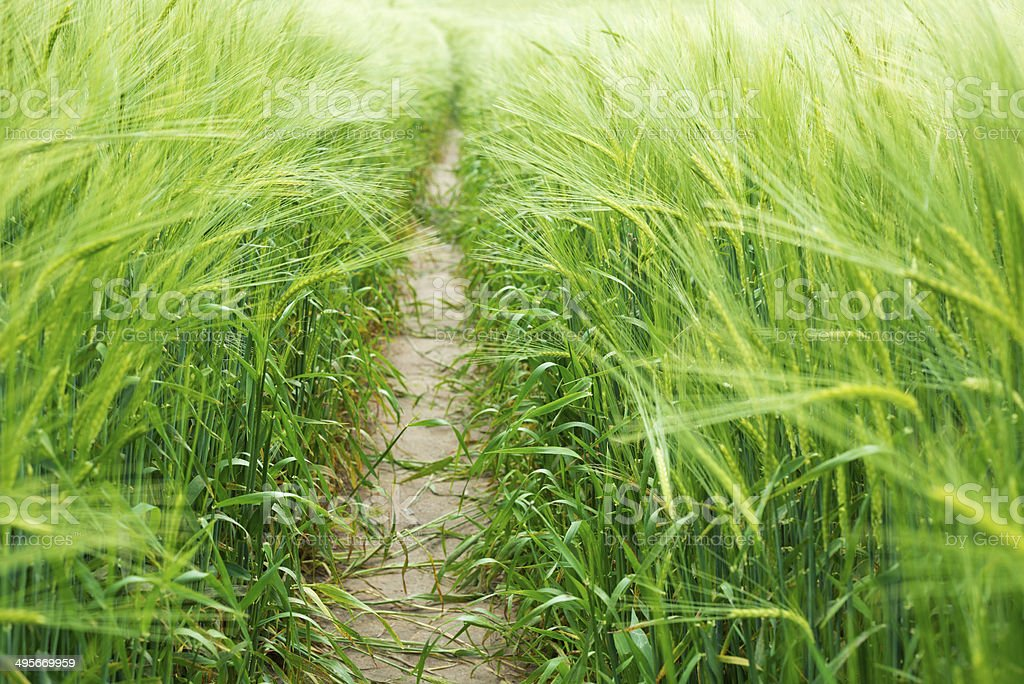 way in green field of rye royalty-free stock photo