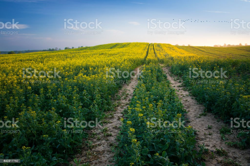 way through a colza field stock photo