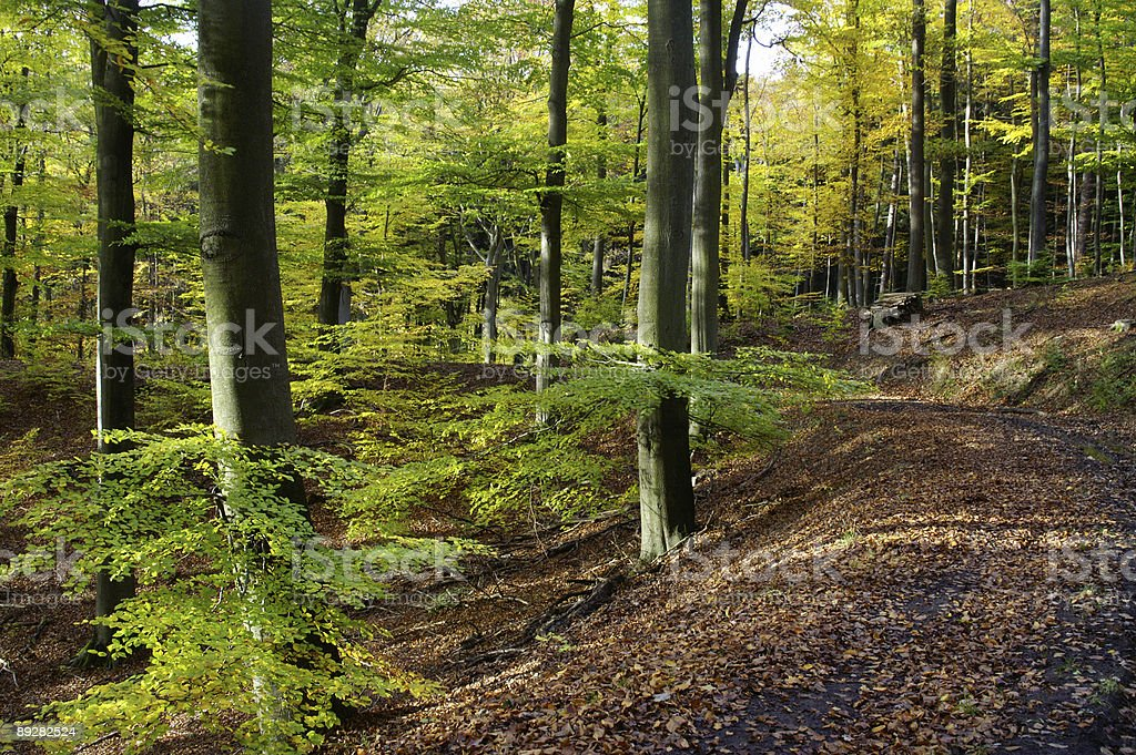 Way through a fall beech wood royalty-free stock photo
