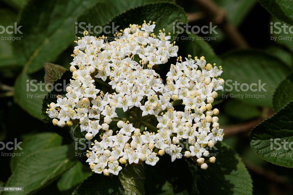 Wayfaring Tree ( Viburnum lantana ) - Bloom – Foto