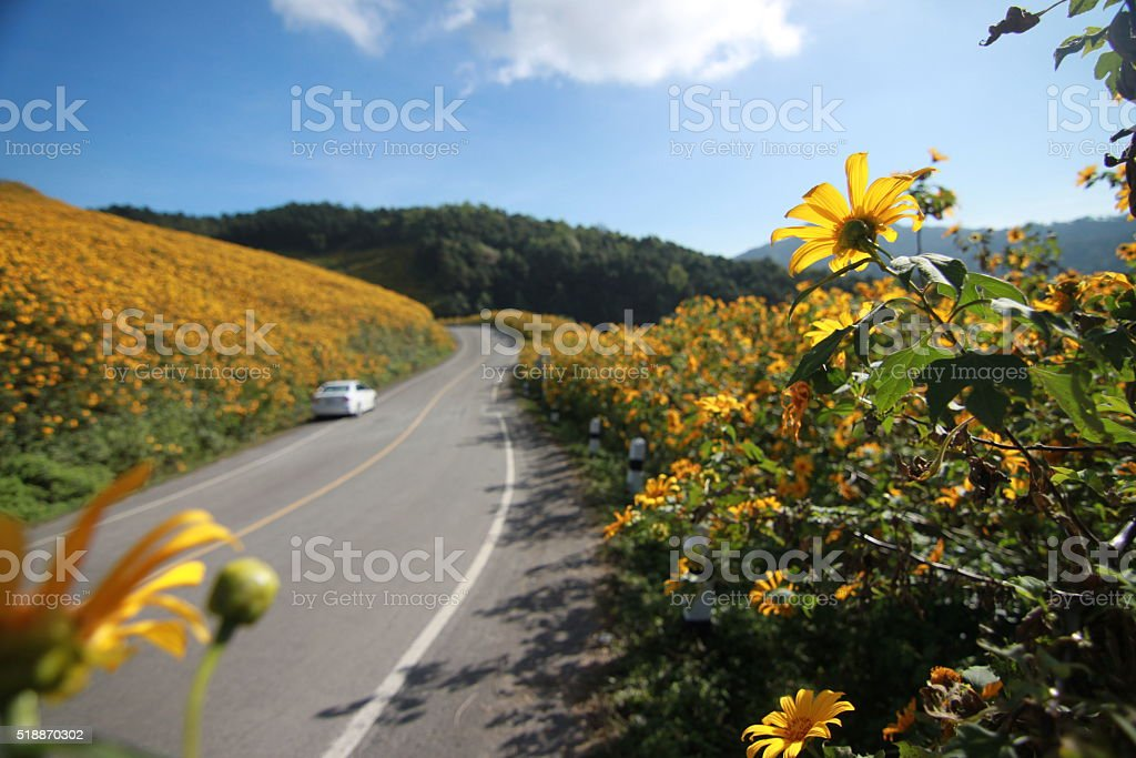 Wayside Flowers, Mexican sunflower stock photo