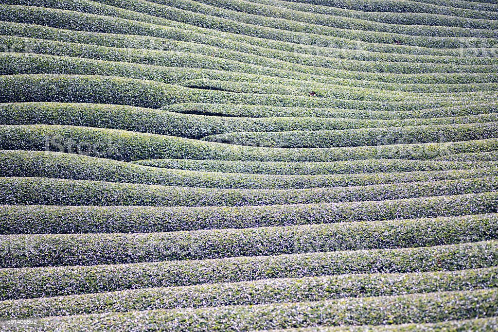 Wazuka tea field,kyoto,tourism of japan ストックフォト