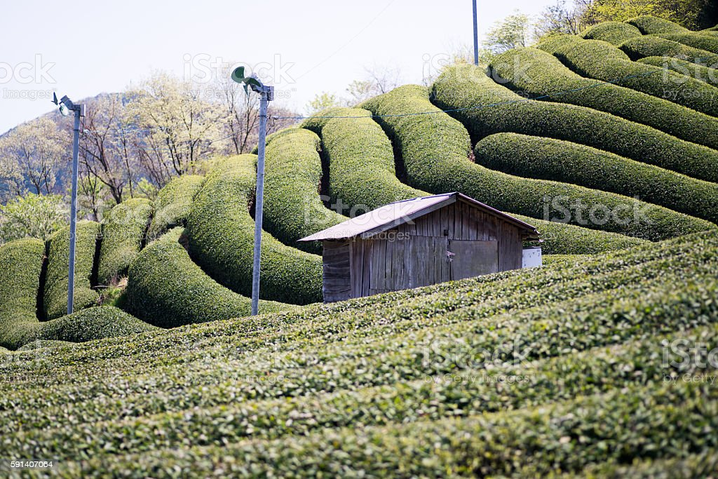 Wazuka tea field,kyoto,tourism of japan stock photo