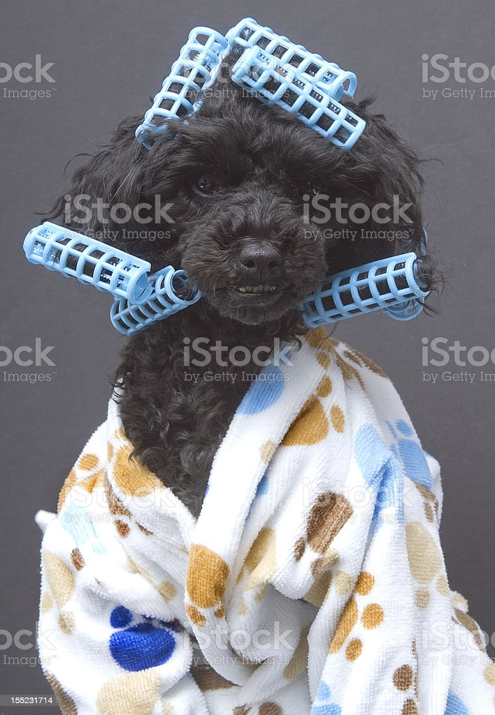 Wearing Blue Curlers royalty-free stock photo