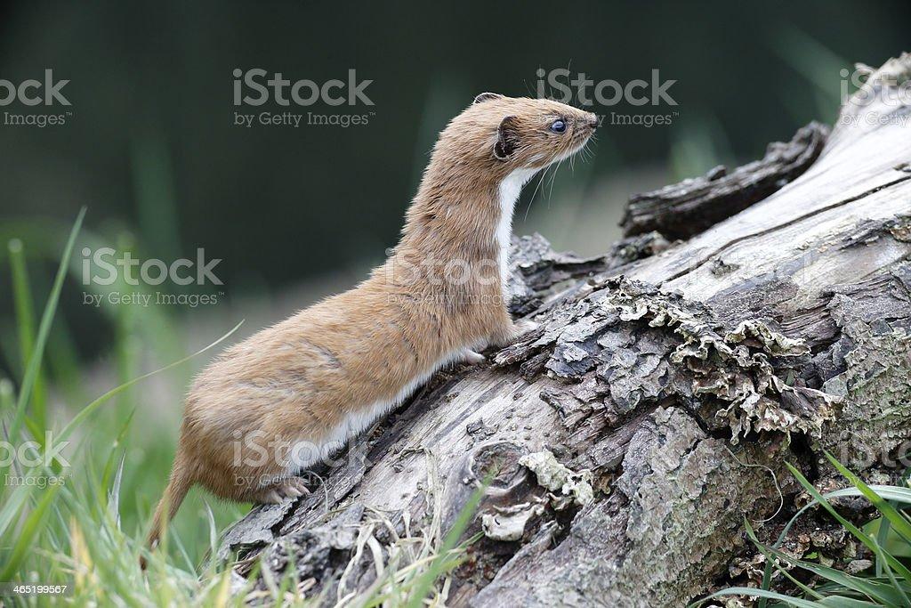 Weasel, Mustela nivalis, stock photo