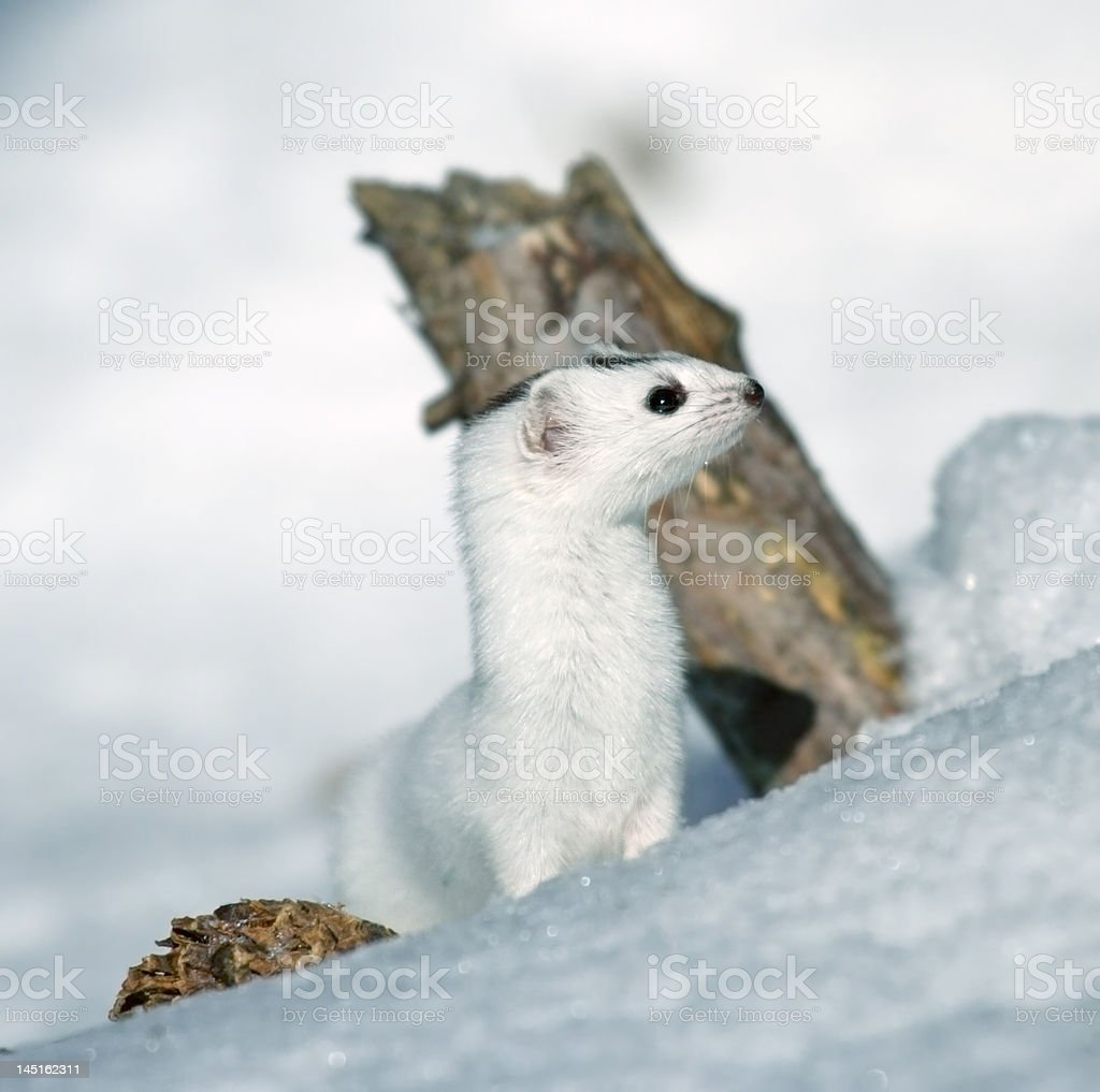 Weasel ( Mustela nivalis ) royalty-free stock photo